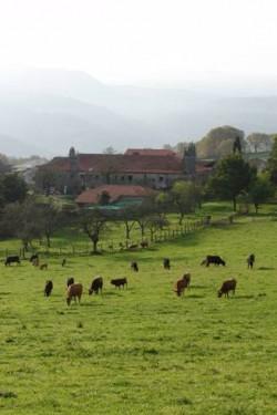 vacas pastando na finca do pazo de Fontefiz