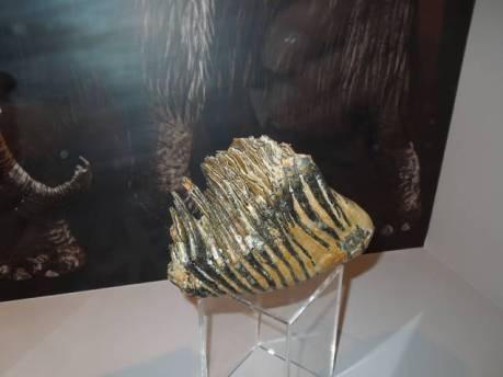 Dente de mamut no Museo Xeolóxico de Quiroga